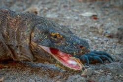 Komodo Dragon Tongue